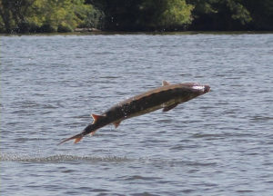 Sturgeon breaching in the James River -  Don West